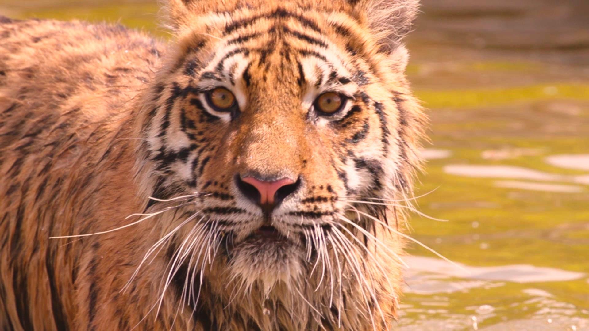 Снято! Уникальный докфильм «Тигры»!